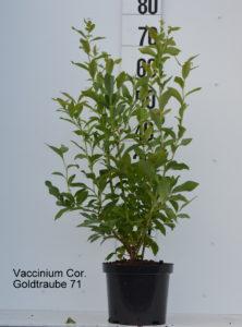 Vaccinium cor. Goldtraube 71